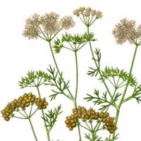 Hierbas, especias y condimentos: uso del cilantro en cocina