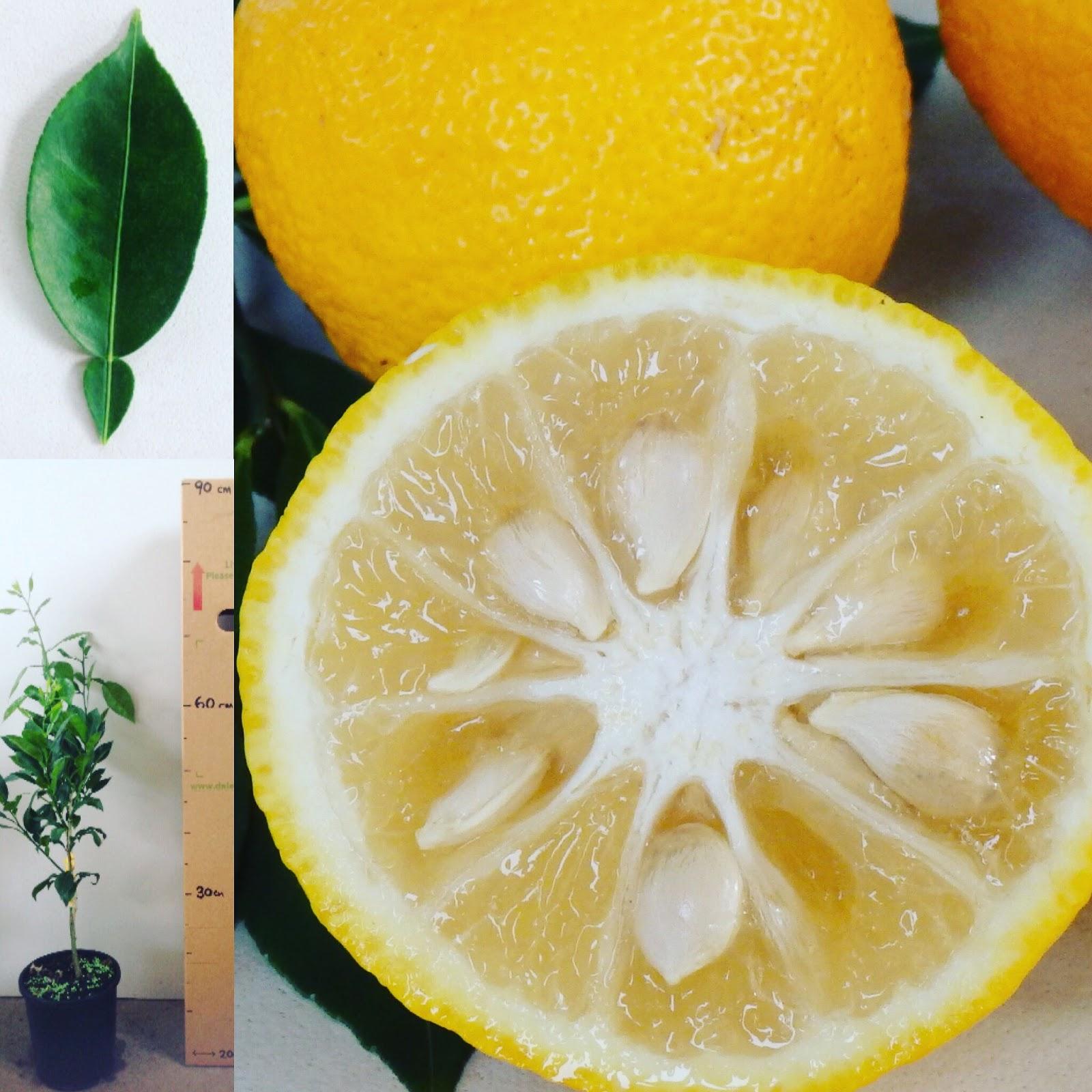 Daleys Fruit Tree Blog: Grafted Yuzu Fruit Trees - Cooking ...