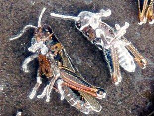 mumi serangga terkena beauveria bassiana
