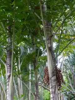 Palmier à Queue de Poisson de Birmanie - Caryota mitis