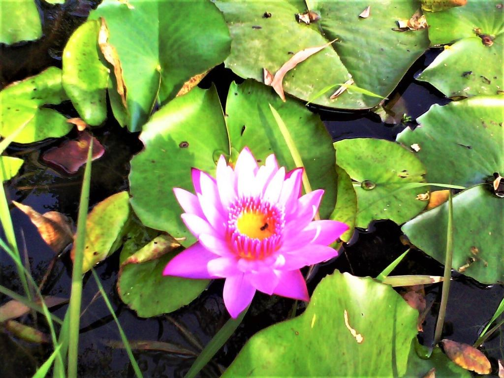 Purple water lily in Madhabpur Lake