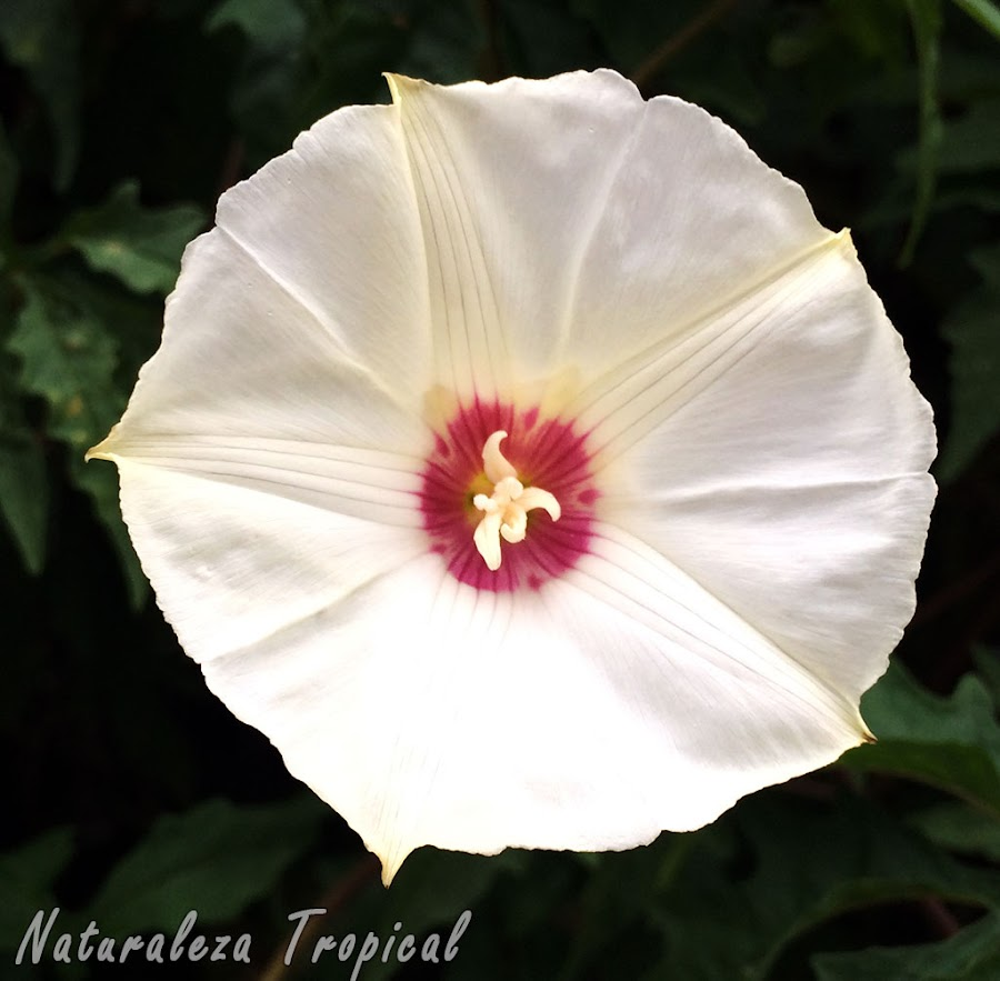 Las plantas del género Ipomoea con sus flores formando una estrella y campaniformes. Se conocen popularmente como Campanitas