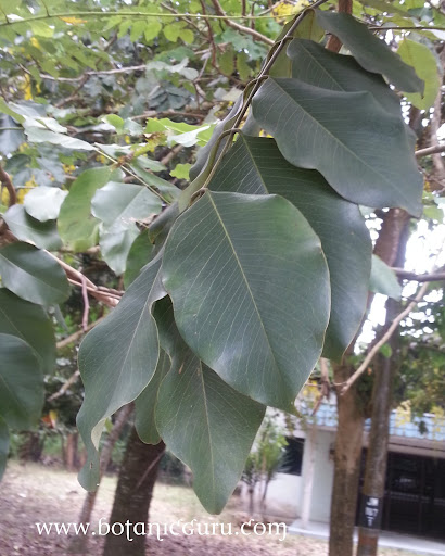 Cassia fistula, Golden Shower Tree, Indian Larbunum leaves