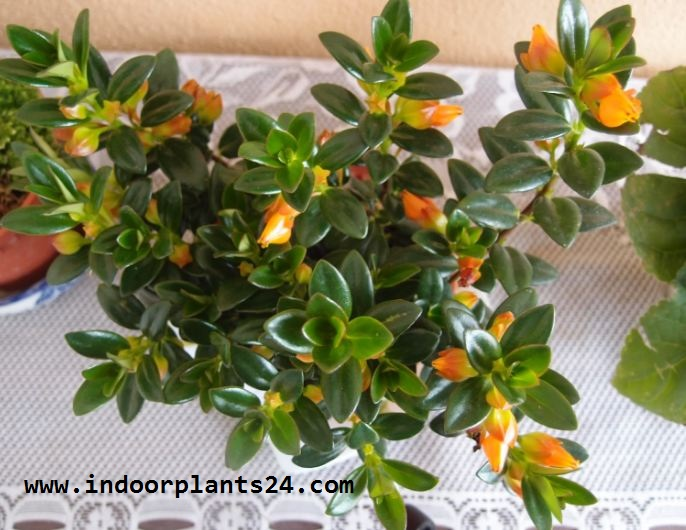 Indoor Plant🤷columnea X Banksii Nematanthus Goldfish Plant