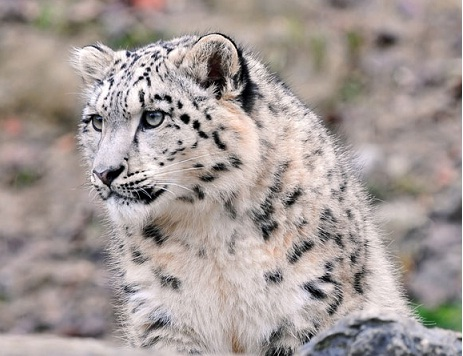 صور رائعة للنمر الثلجي Snow leopard