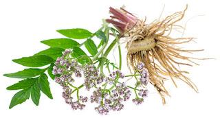 11 Amazing Health Benefits of Valerian Root