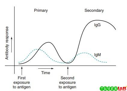 Primary and secondary antibody responses.