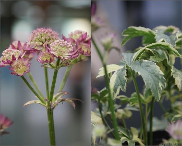 jarzmianka kwiat