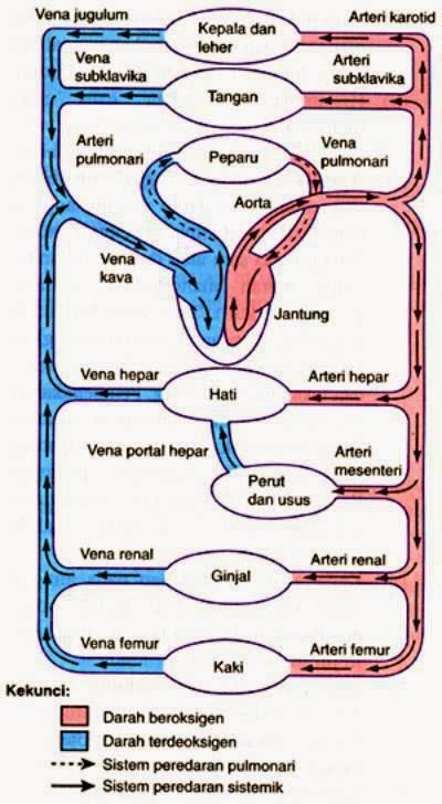 My Inspiration Anatomi Dan Fisiologi Pembuluh Darah