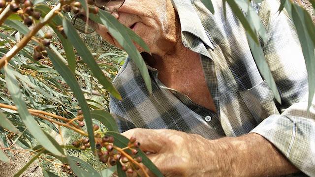 Ο ΜΕΓΑΛΟΣ ΔΑΣΚΑΛΟΣ ΑΡΓΥΡΗΣ ΚΟΣΚΟΣ μαζεύει σπόρους ευκαλύπτου melliodora για τον melissocosmo