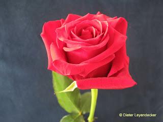 Rose der Ehrlichkeit