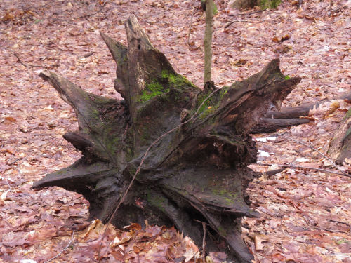 tree stump in the shape of a star