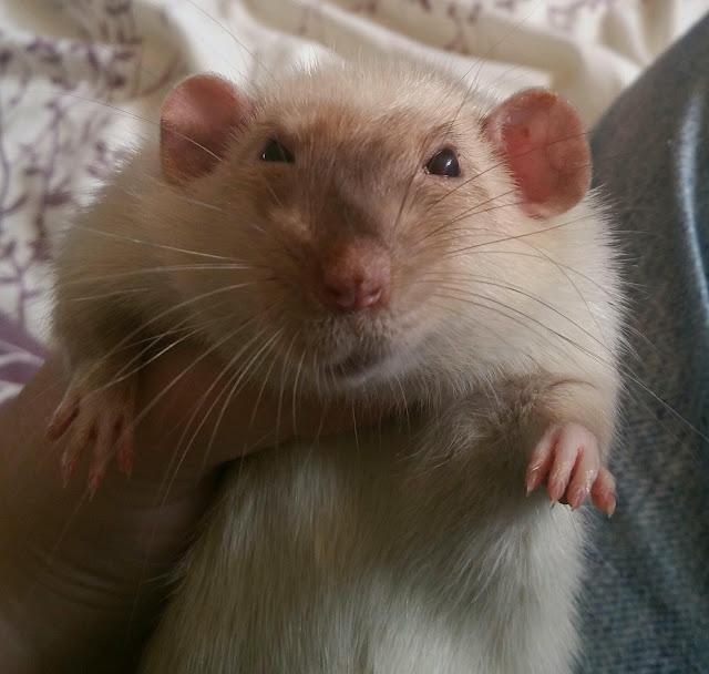 Jasper the Rat