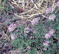Cleome serrulata Rocky Mountain bee plant