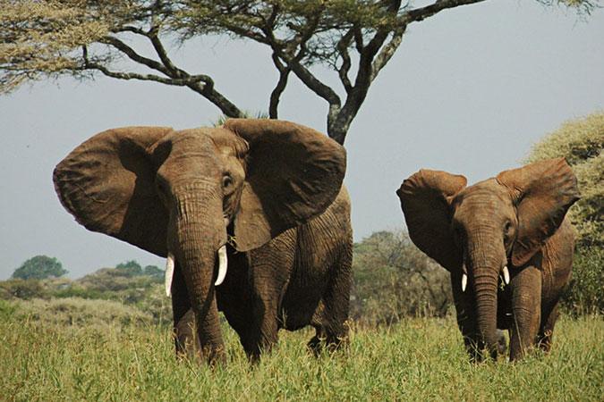 Penelitian Tanzanian rangers harness new technology to fight poachers