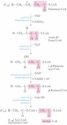 yağ asidinin beta oksidasyonu enzimleri