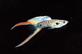 أسماك الطاووس الصينية الرائعة الجمال سبحــــــان الله image02120-747392.jp
