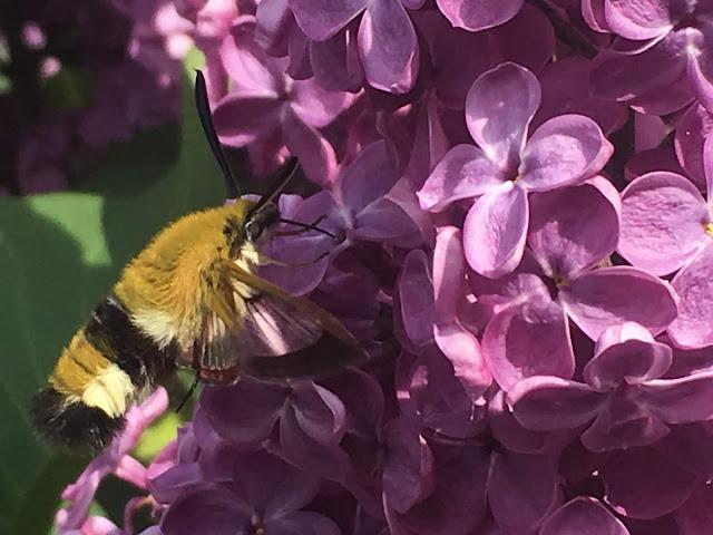 Insekt som er glad i syrin, men hvilket er det?
