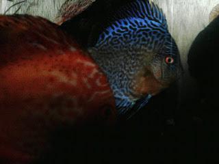 admin pribadi terpesona dan juga tertarik sama ikan yang satu ini Si Ikan Discus Yang Cantik Menawan