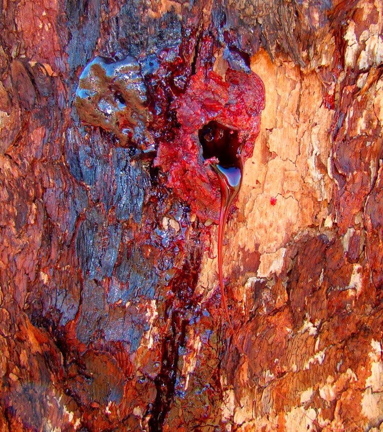 bloodwood, red bloodwood, red bloodwood tree, bloodwood wood, bloodwood logs, bloodwood tree red sap, blood tree sap, tree that bleeds red sap, red sap tree, bloodwood logs, trees with red sap,