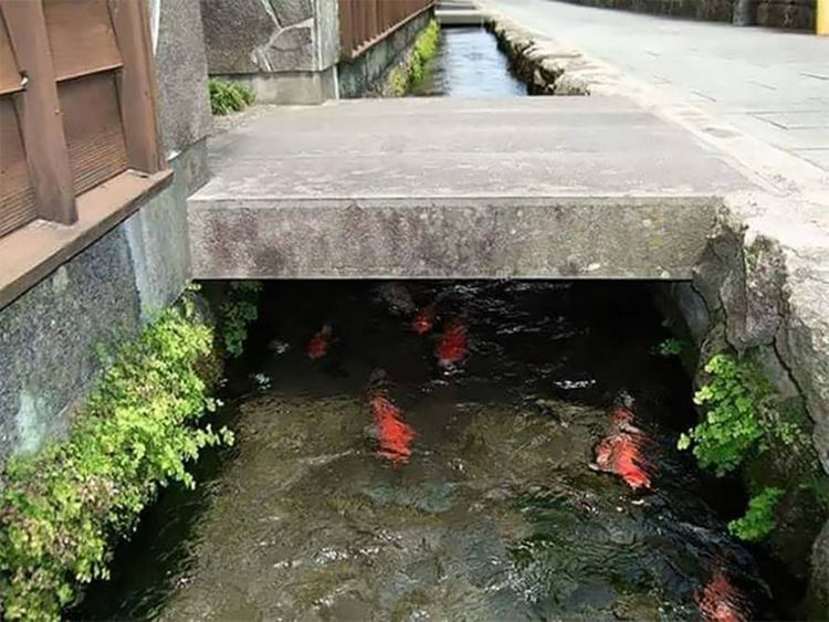 Japan drainage canal fish, Koi fish, Drainage canal in Japan, Koi fish in drainage canal in Japan, Japan drain fish, Japanese drain