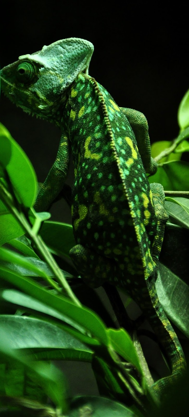 Picture of a green chameleon.