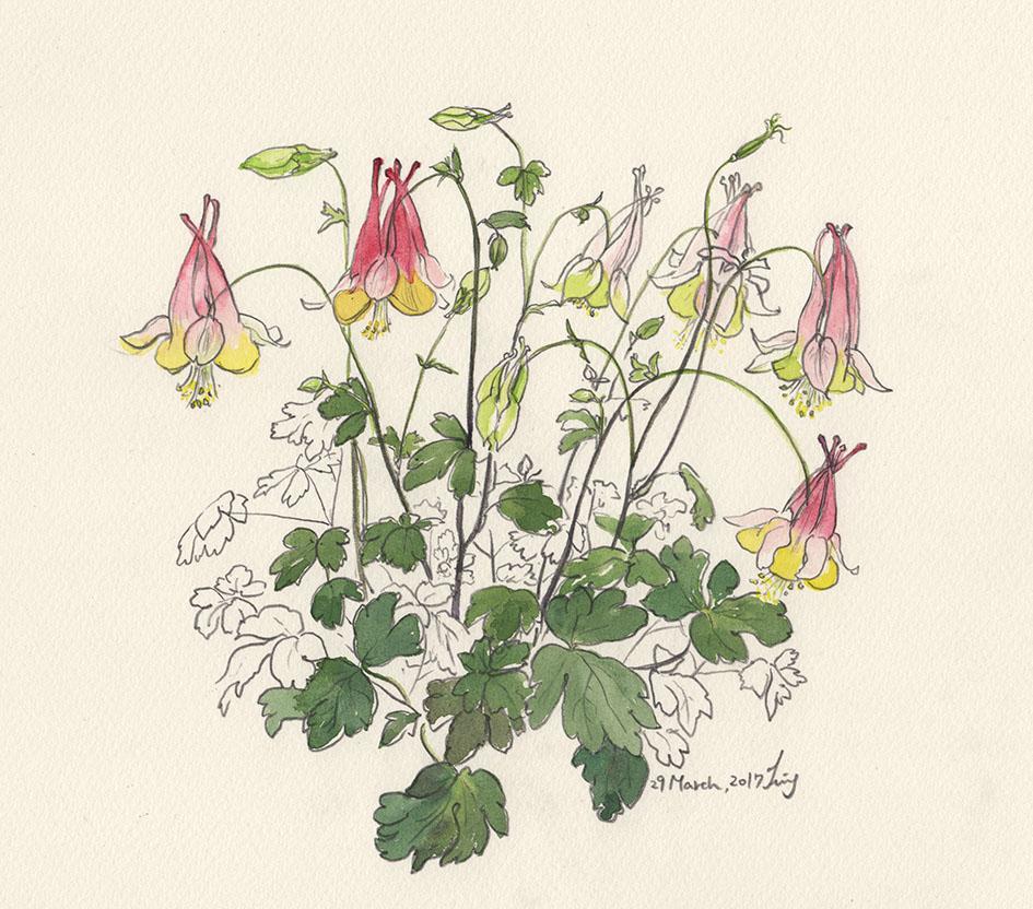 Columbine Flower Line Drawing : クイナ通りsoi 〜thanon kuina soi 〜 art is the flower