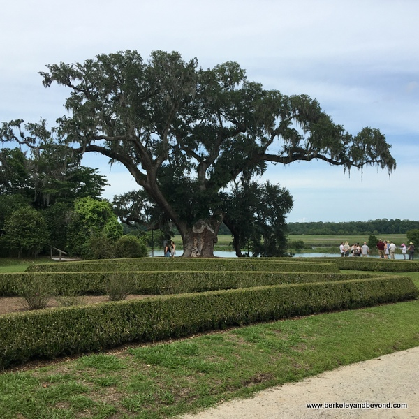 Middleton Oak in The Gardens at Middleton Place plantation in Charleston, South Carolina