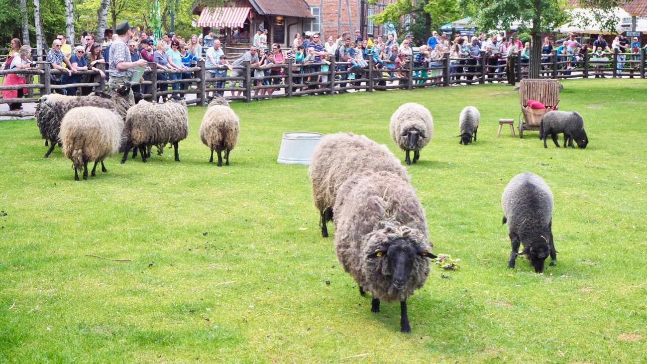 Schafe im Erlebniszoo Hannover