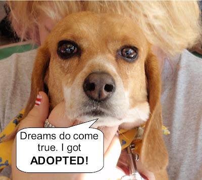 Beagle named SHY got adopted!