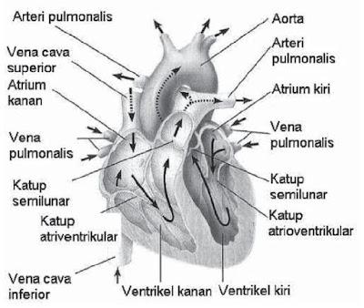 Sistem Peredaran Darah pada Manusia: Pengertian Darah, Fungsi Darah, Sel Darah Merah, Sel Darah Putih, Alat Peredaran Darah dan Pembuluh Darah dan Golongan Darah