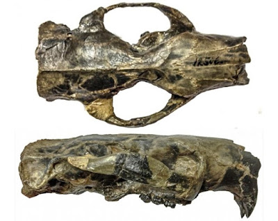 Ancient rodent's brain was big… but not necessarily 'smar'