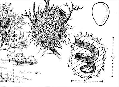 nido de Leñatero Anumbius annumbi