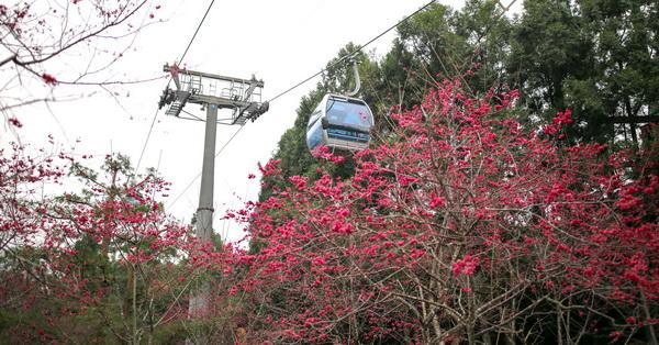 南投魚池|九族文化村櫻花祭|無限次坐纜車|賞櫻花好美哦