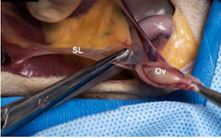 Teknik Operasi Ovariohisterectomy, Hysterectomy dan Hysterotomy (Bedah Genital)