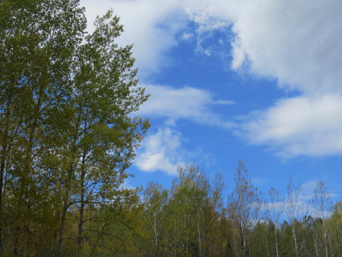 blue sky above aspen trees