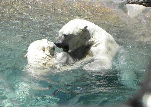 polar bears, albuquerque zoo, rio grande zoo