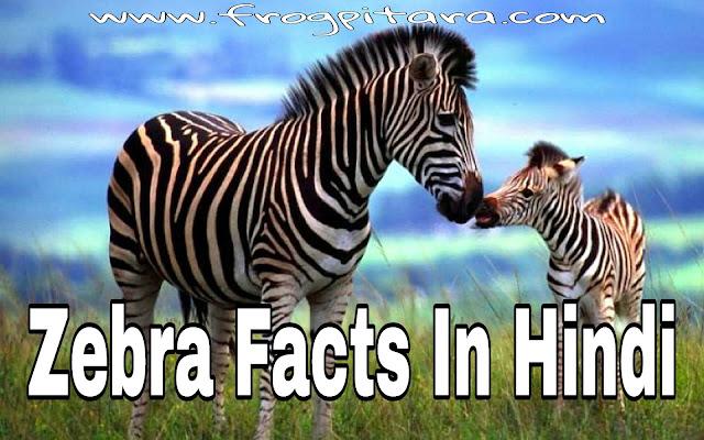 Zebra Facts In Hindi - Zebras Information