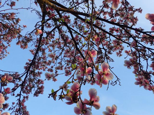 Wszędzie magnolie (Wzgórze Zamkowe)