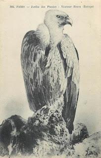 oiseau vautour paris