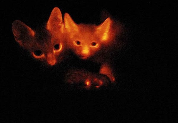 Skeptophilia: On the universal genetic code, glow kitties ...