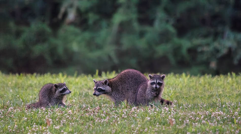 mother raccoon with kits