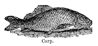 fish carp image illustration fishing clipart transfer download