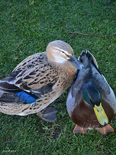 forking ducks