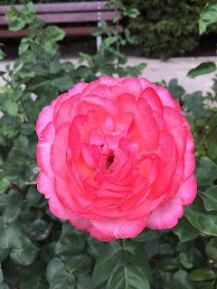 Rosengarten Fort X Köln: Pinke Rose / Blüte