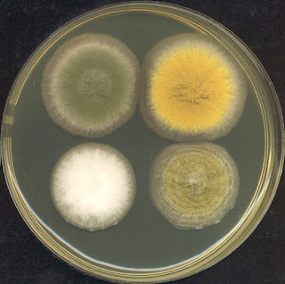 Research in melanin, protein, and Aspergillus fungi thwart Darwinism and inadvertently support creation science.