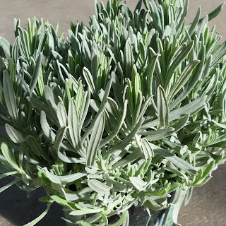 pot grown lavender stoechas