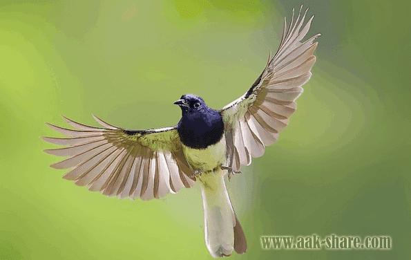 Cara Menjinakkan Burung Kacer Yang Giras