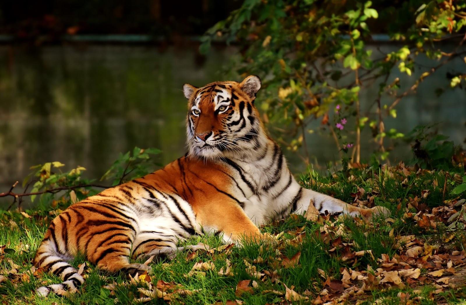 tiger wallpaper free download