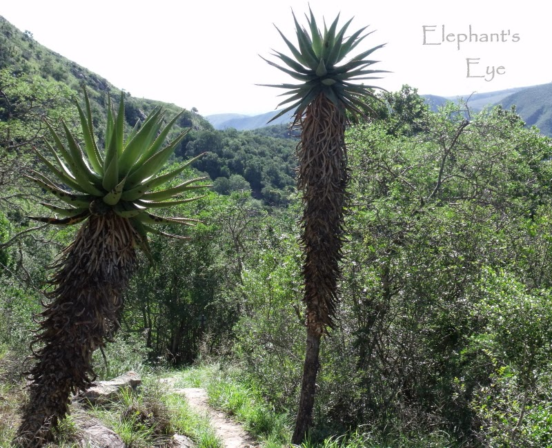 Aloes at Zuurberg